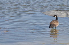 Canada goose. A goose that sits in the sun royalty free stock image