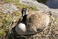 Canada goose sitting on branch nest hatching her eggs. Closeup horizontal frontal view of large female Canada goose with benign expression sitting on branch nest stock photo