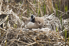 Canada goose sitting on eggs in the nest, Massachusetts. Canada goose sitting on a nest with eggs, body in profile, with her head facing the camera, in a marsh Stock Images