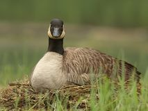 Canada Goose Sitting on Nest Stock Images