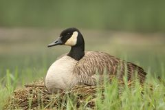 Canada Goose Sitting on Nest Royalty Free Stock Photo