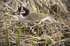 Canada goose sitting on a nest, bill open, Concord, Massachusetts. Canada goose sitting on a nest with her bill open, in a marsh at Great Meadows National Stock Photo
