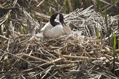 Canada goose sitting on a nest at Great Meadows, Massachusetts. Canada goose sitting on a nest with eggs, with her head to one side, bill open, in a marsh at Royalty Free Stock Photo