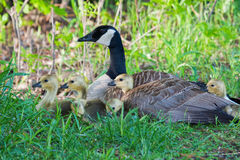Canada Goose Sitting On A Nest With Her Goslings Stock Photo