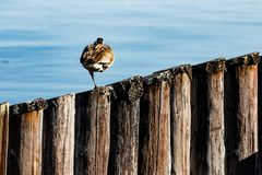 Canada goose sleeping on one leg on a diagonal row of pier pillar pylons royalty free stock images