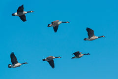 Canada Goose. A small flock of Canada Geese flying south for the winter stock photos
