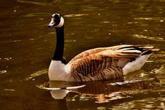 Canada goose in a golden pond. A Canada goose smoothly swimming in a local London lake in a park stock photo
