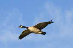 Canada Goose Soar Royalty Free Stock Photography