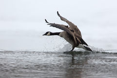 Free Canada Goose Splashing Down As It Lands In Winter Stock Images - 50941284