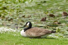 Canada goose squatting on the lawn. In european park Royalty Free Stock Image