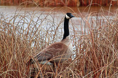 A Canada Goose standing amongst the dry reeds royalty free stock photos