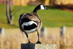 A Canada Goose standing on a cement wall royalty free stock images