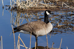Canada Goose Standing in a Lake Royalty Free Stock Images