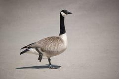 Canada Goose Standing on One Leg Stock Photos
