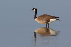 Canada Goose standing in shallow water with reflection Royalty Free Stock Images