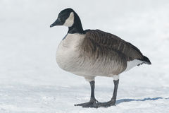 Canada Goose. Standing in the snow stock image