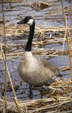 Canada goose standing in a swamp in New England. Canada goose standing in a marsh at Great Meadows National Wildlife Refuge in Concord, Massachusetts Royalty Free Stock Photography