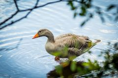 Canadian goose on standing in water. Beautiful shot stock image