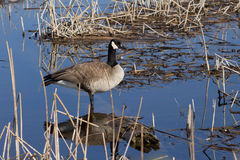 Canada Goose Standing in the Water Stock Photos