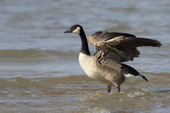 Canada Goose Stretching its Wings Royalty Free Stock Image