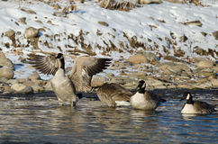 Canada Goose Stretching Its Wings While Standing in a Winter River Stock Photography