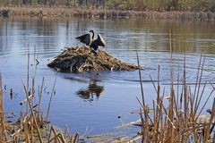 Canada Goose strutting atop a Muskrat Lodge Stock Image