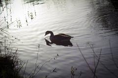 Canada Goose at sun set Stock Photo