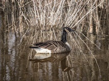 Canada Goose in Swamp Royalty Free Stock Photo