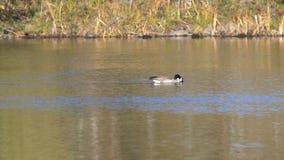 Canada Goose Swiming stock video footage
