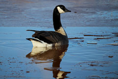 A Canada Goose swimming amongst ice stock photo