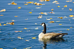 Canada Goose Swimming Among Autumn Leaves Stock Images