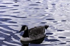 Canada goose swimming in Bedfont Lakes Country Park. London, United Kingdom royalty free stock photos