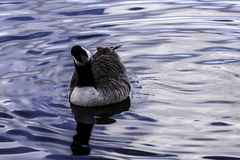 Canada goose swimming in Bedfont Lakes Country Park. London, United Kingdom stock images