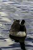 Canada goose swimming in Bedfont Lakes Country Park. London, United Kingdom royalty free stock image
