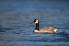 A Canada Goose Swimming on a Blue Lake in Winter stock photo