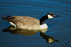 A Canada Goose swimming on calm water with its` reflection Royalty Free Stock Photography