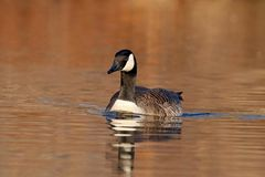 Canada Goose Swimming in the Evening stock photography