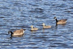 Canada Goose Swimming family. A Canada Goose Branta canadensis family swimming on blue water with two goslings Royalty Free Stock Photos