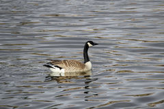 A Canada Goose swimming on a greyish colored water royalty free stock photo
