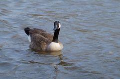 Canada goose. Swimming in the lake Stock Photo