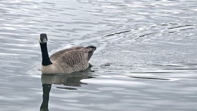 Canada Goose Swimming stock video