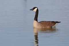Canada Goose swimming on Lake Huron Stock Image