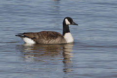 Canada Goose Swimming in Lake Huron Stock Photography