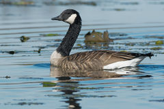 Canada Goose. Swimming in the marsh Stock Photo