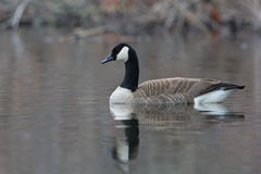 Canada Goose Swimming on a Pond Stock Photos