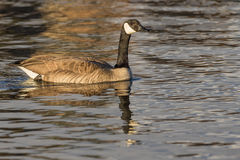 Canada Goose Swimming Stock Photography