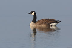 Canada goose swimming with reflection Stock Image