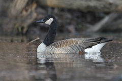 Canada Goose Swimming on a River Royalty Free Stock Image