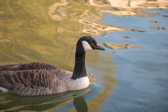 Canada Goose swimming. In the river reflecting orange building an royalty free stock image