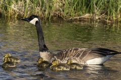 Canada goose swimming with thier goslings. On the river.Nature scene from Wisconsin stock image